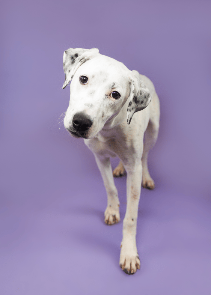 Dalmatian Photography Portrait